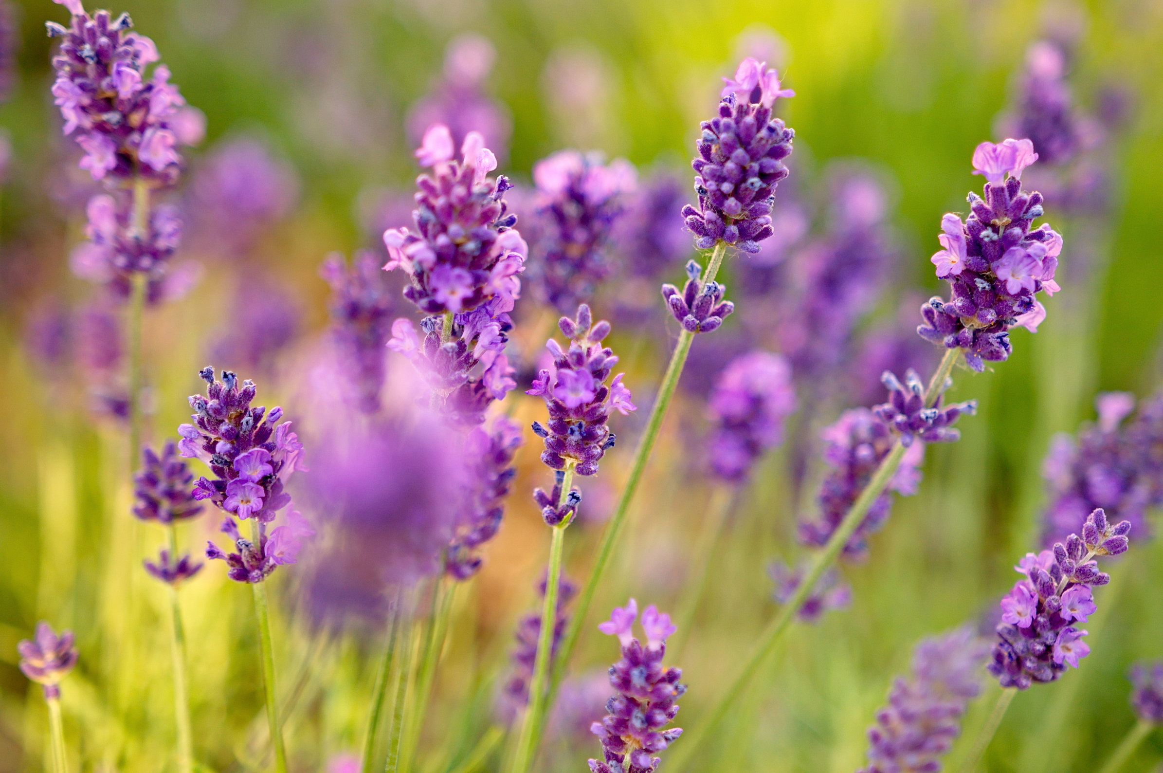 Does Lavender Oil Kill Fleas On Cats
