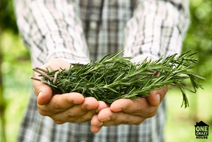 Rosemary a natural mosquito repellent - WM
