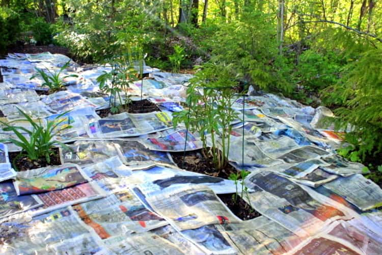 garden covered in layers of newspapers with space left for growing plants in between the newspaper covering.