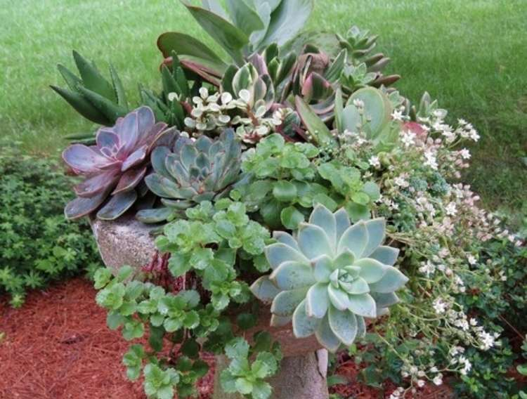Succulents planted in an unused birdbath with mulch on the ground and grass in the background