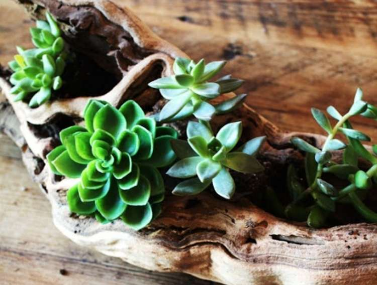 Succulents planted in holes of driftwood