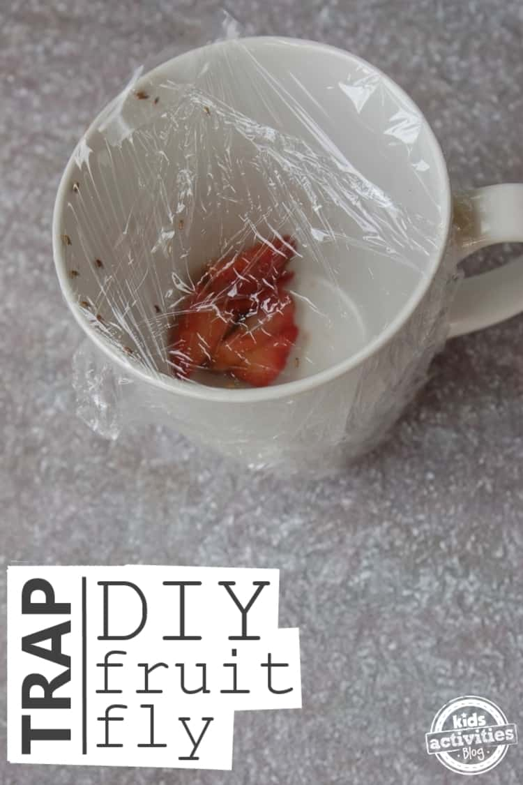 cup with fruit covered with plastic wrap to act as fruit fly trap