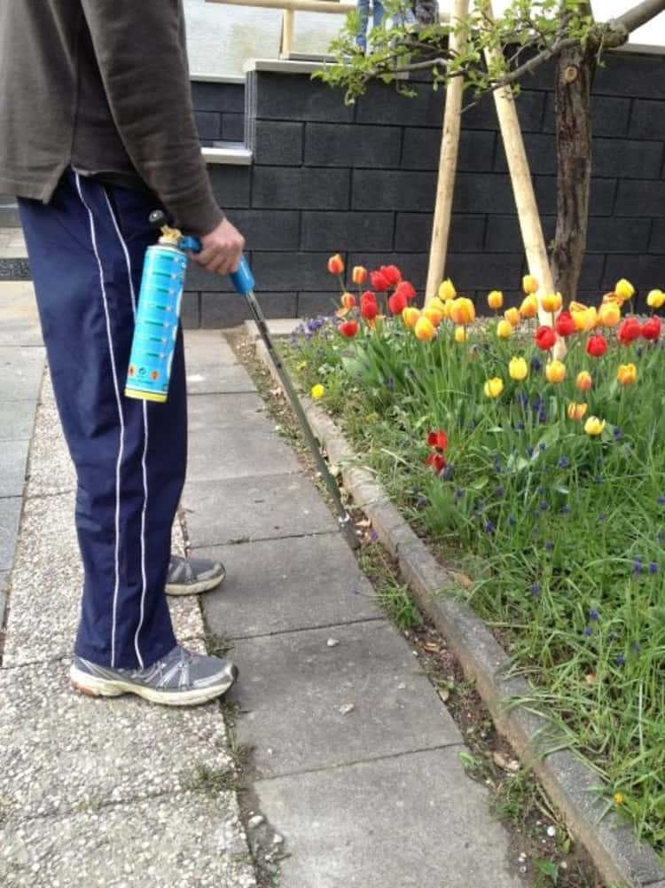 person using a flame to kill weeds growing between a footpath and a tulip garden