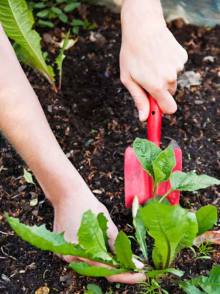 person's hand weeding - one hand holding a red hand trowel and other hand is pulling on a weed.