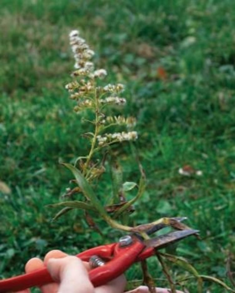 hand holding a red-handled prune cutting a diseased plant