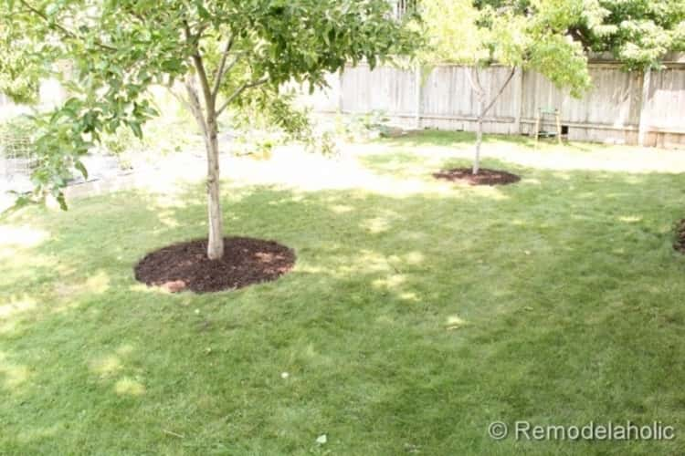 A neatly manicured lawn with wooden fence and 2 well-mulched trees free from weeds